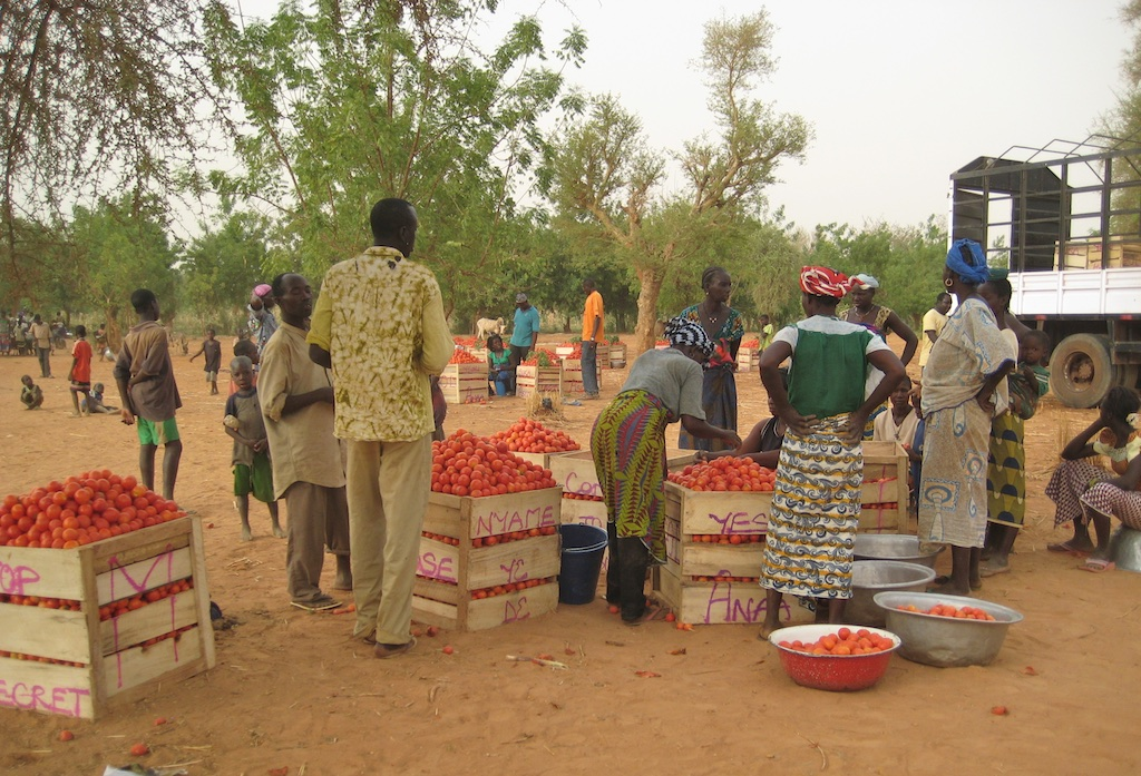 Bringing tomatoes to merchants for transport.
